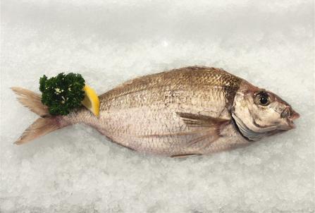 tarakihi fresh fish